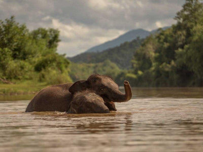 Elephant swimming in Luang Prabang