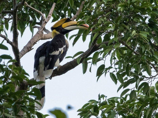Great Hornbill in Darulaman Sanctuary
