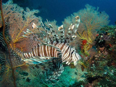 Lionfish living underwater at Pulau Tioman
