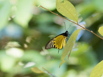Malayan Birdwing buttefly at Darulaman Sanctuary