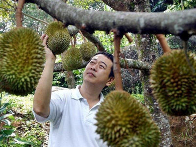 Man checking on a durian at the farm in Penang