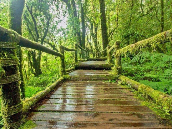 Man made walkway in Mossy Forest on Cameron Highlands