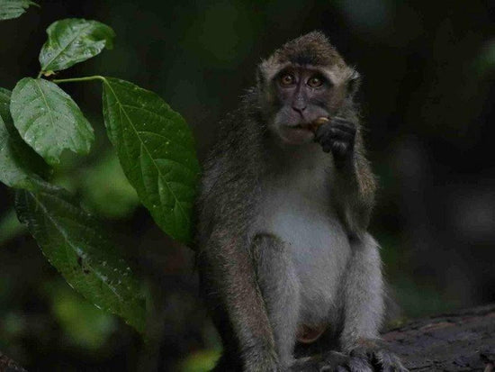Monkey by the river at Kinabatangan