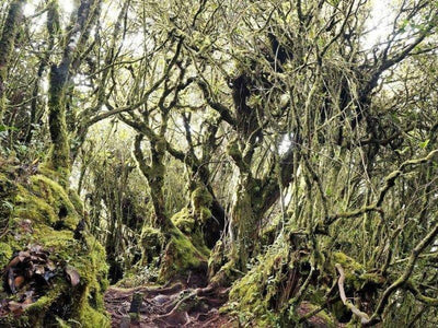 Mossy trees in Mossy Forest on Cameron Highlands