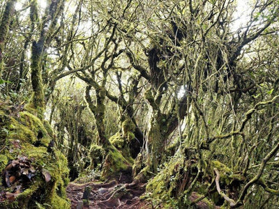 Mysterious Mossy Forest in Cameron Highlands