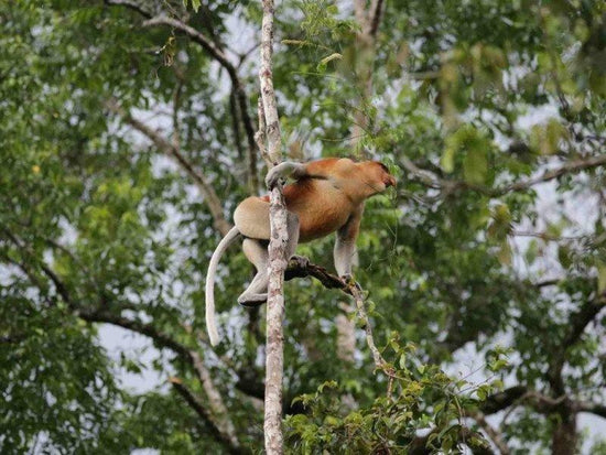 Proboscis monkey on trees at Kinabatangan