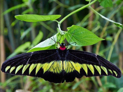 Rajah Brooke's Malaysia famous butterfly at Gopeng