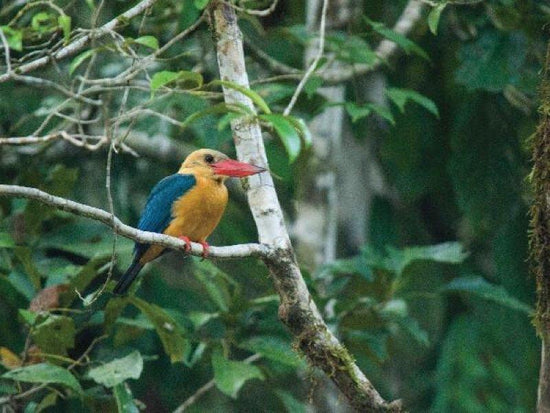 Rare bird spotted in Sepilok forest