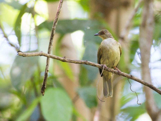 Red Eyed Bulbul at Darulaman Sanctuary