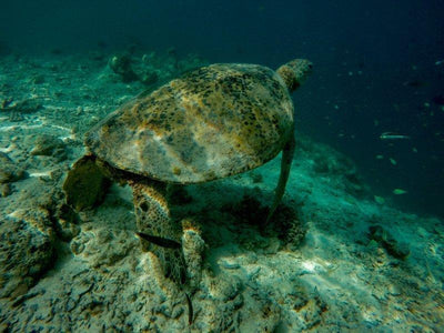 sea turtle at mabul island