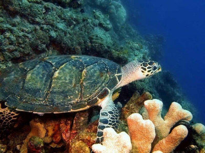 Turtle resting on a coral at Derawan Islands