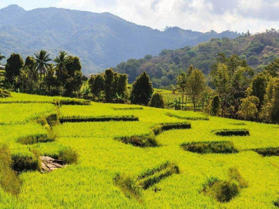 Vast rice paddy field in Flores island