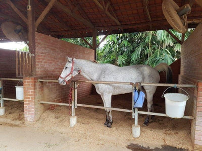 White horse inside a stable on Bukit Tinggi