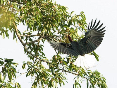 Wreathed hornbill at Darulaman Sanctuary