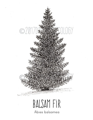 Original Balsam Fir Illustration