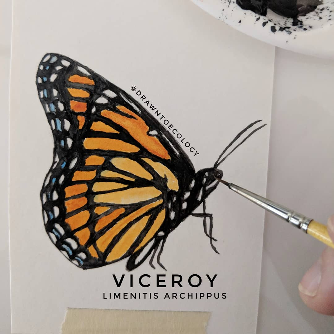 Original Viceroy Butterfly Watercolor Illustration