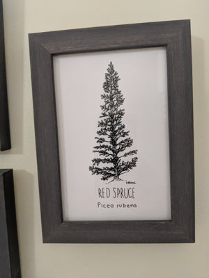 Original Red Spruce Illustration