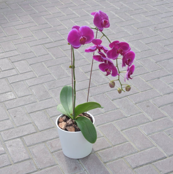 Orchid Purple - Plant -  Flower Delivery - Flower Station Dubai
