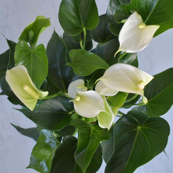 Anthurium Plant - Real