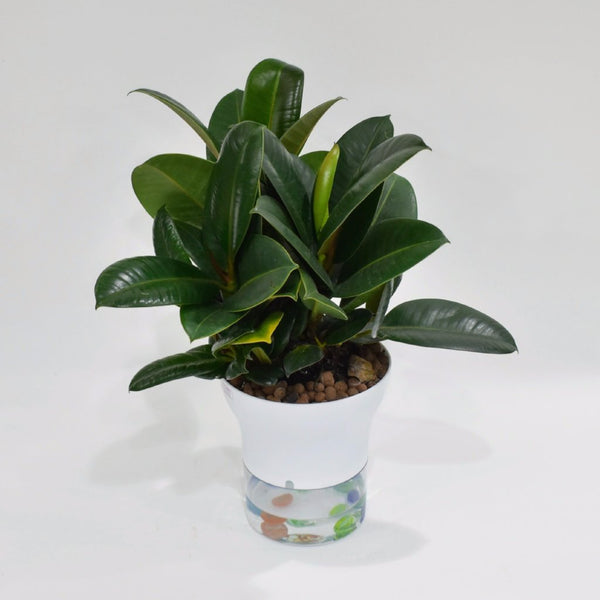 Rubber Plant - Real -  Plant - The Flower Station