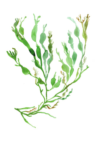 ID-aIG a brown seaweed extract which induces significant wight loss