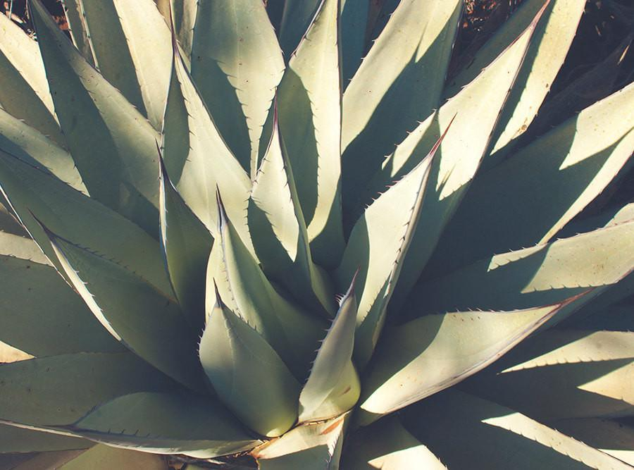 Agave Plant, Botanical Photography Lost Kat Photography