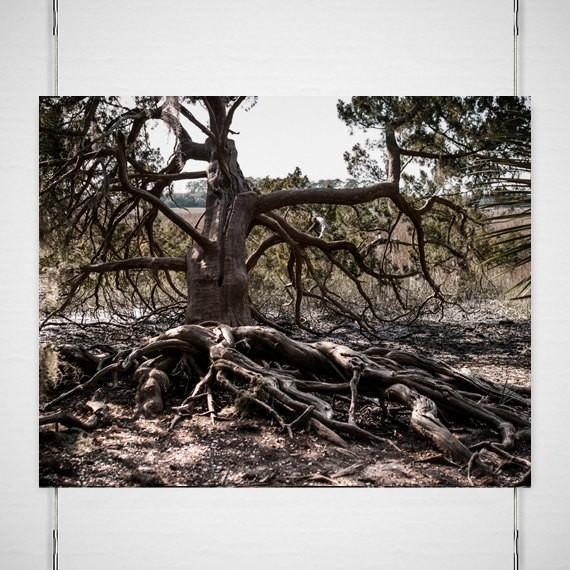 Ancient Swamp King, Tree Roots Fine Art Print Lost Kat Photography