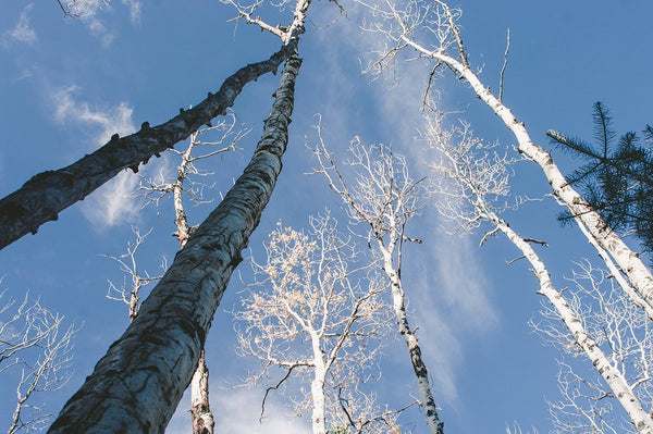 Aspen Trees and Sky, Forest Photography Lost Kat Photography