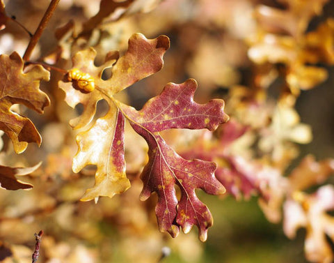 Autumn Oak Leaves, Nature Photography Lost Kat Photography