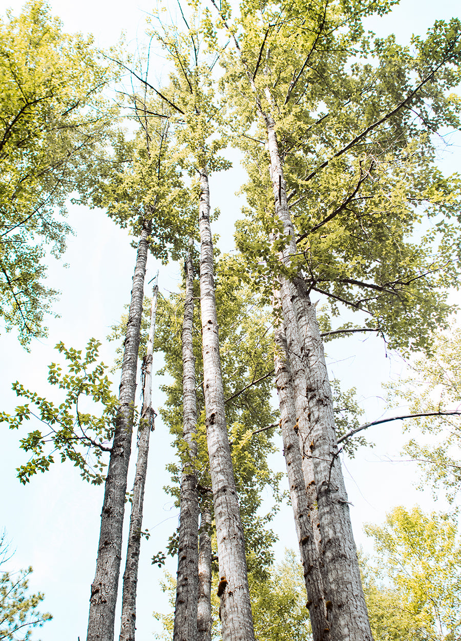 Summer Day Birch Trees, Peaceful Nature Photography