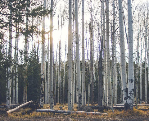 Birch Trees II, Arizona Nature Photography Lost Kat Photography