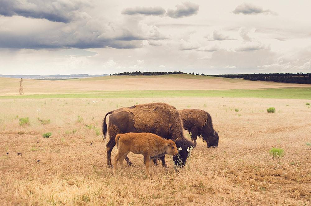 Bison Family, Utah Wildlife Photography Lost Kat Photography