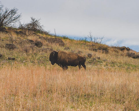 Bison on the Range, Wildlife Photography - Oklahoma Lost Kat Photography