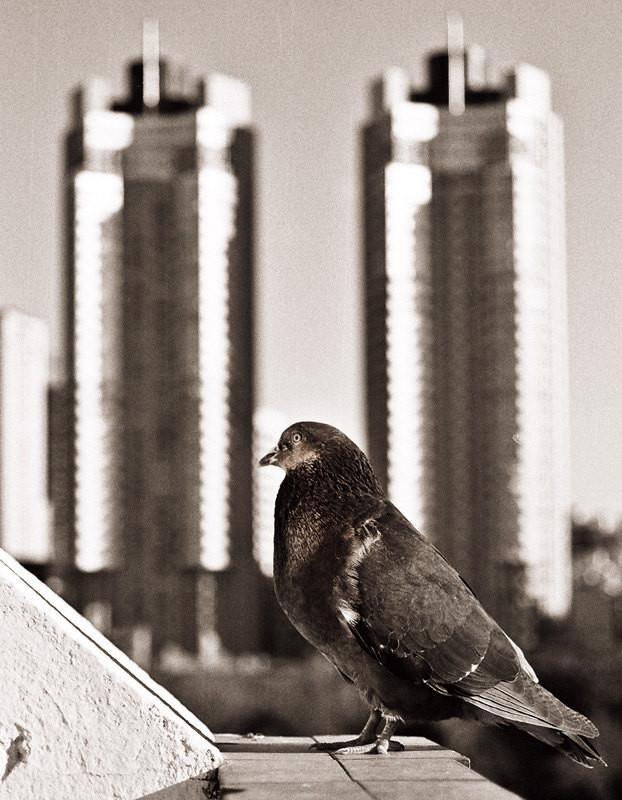 Buenos Aires Pigeon, Black and White Print Lost Kat Photography