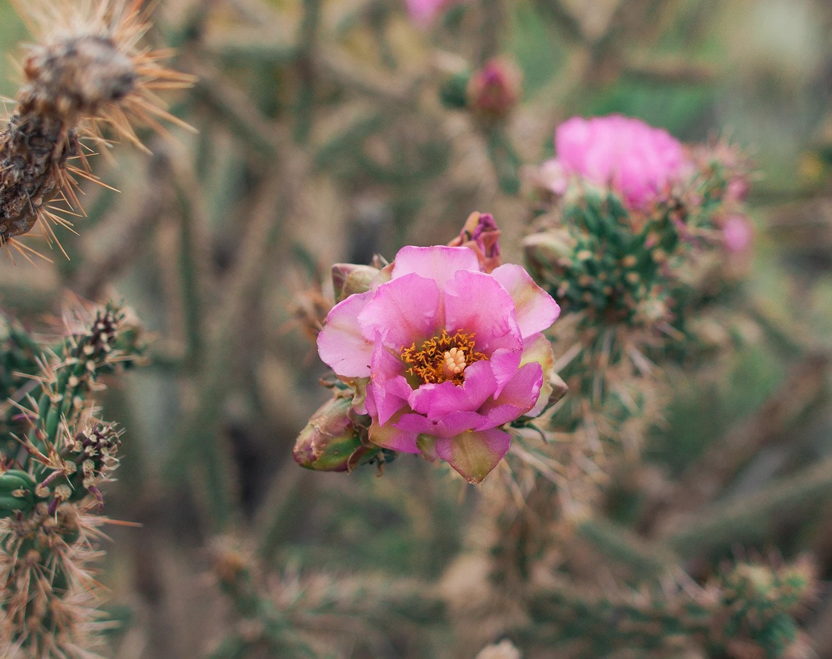 Floral Desert, Cactus Bloom