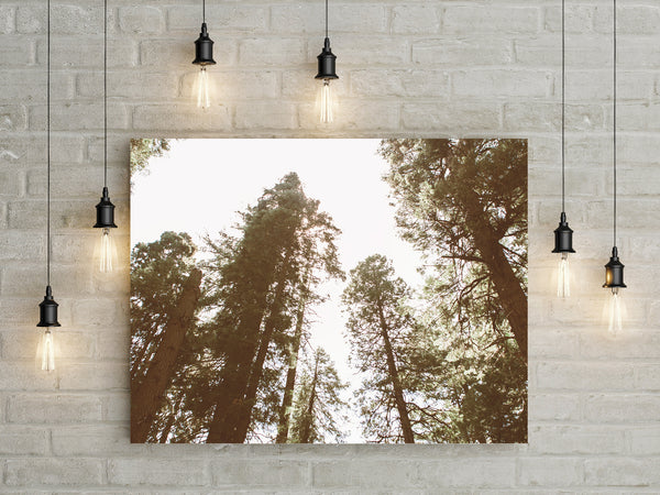 Looking up At the Sequoias Wall Art Print - Many Sizes