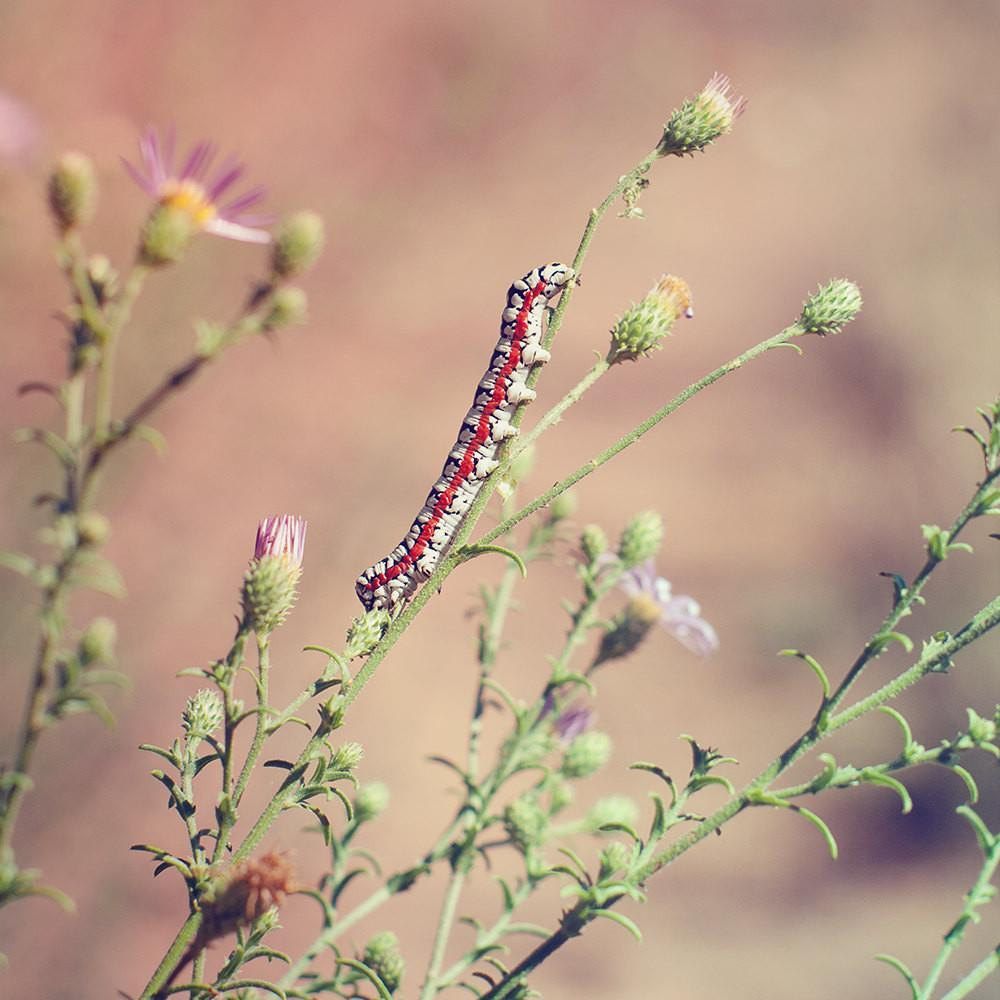 Caterpillar on Aster, Nature Photography Lost Kat Photography