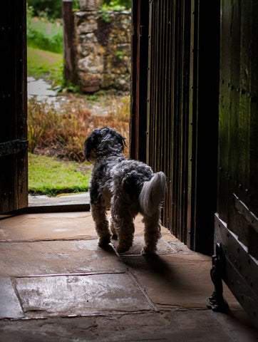 Tudor Terrier, Stoneacre House, Kent, UK