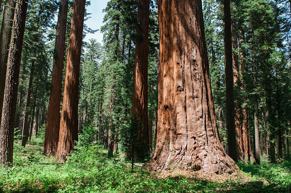 Forest Giants, Sequoia Forest, California Photography - Fine Art Print Lost Kat Photography