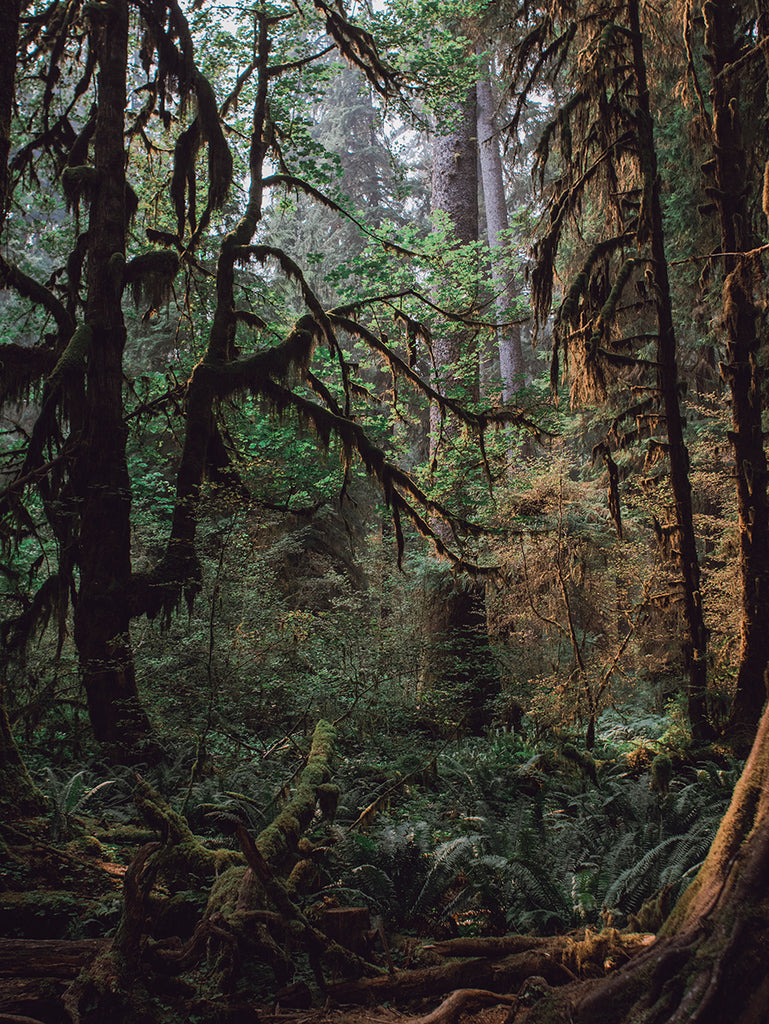 Mysterious Forest, Olympic Peninsula Wall Art Print - Many Sizes