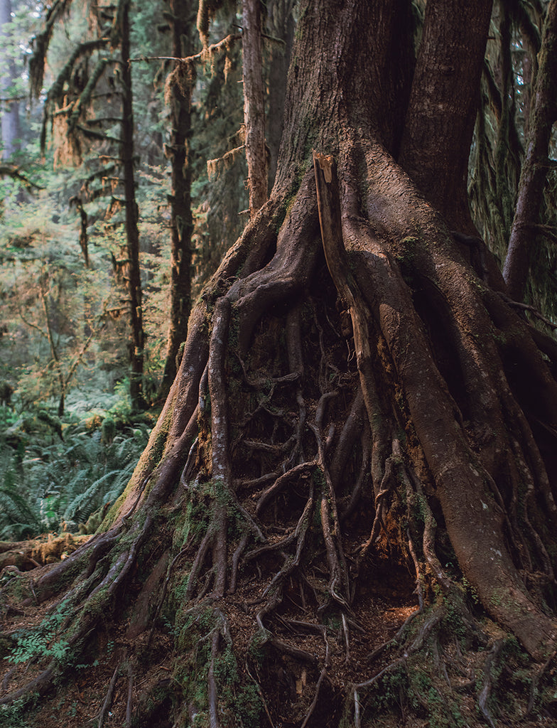 These Roots Run Deep and Wide, Olympic National Park Wall Art Print - Many Sizes