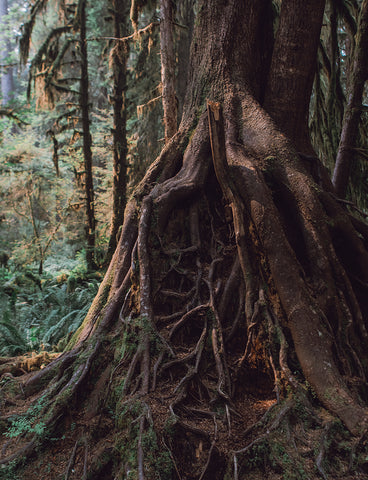 These Roots Run Deep and Wide, Olympic National Park