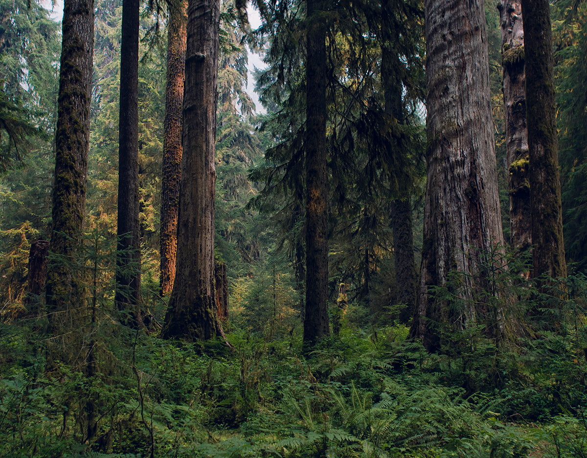 Deep and Dense, Hoh Rain Forest, Olympic National Park Photography Print