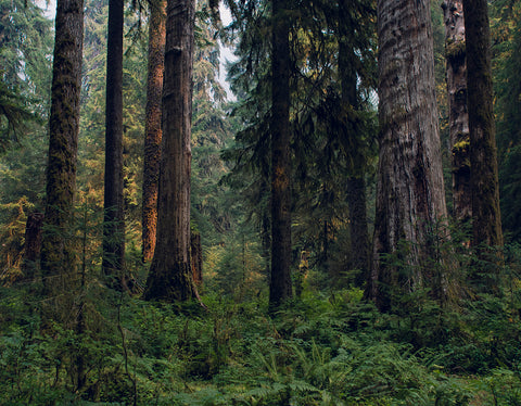 Deep and Dense, Olympic National Park Photography Print - Many Sizes
