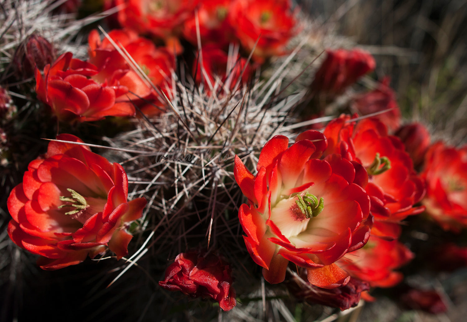 Fire Red Cactus Bloom