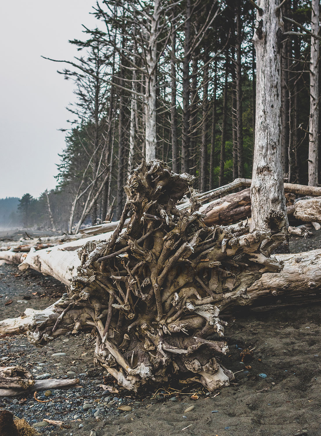 Redwood Roots on Rialto Beach, Pacific Northwest Wall Art Print