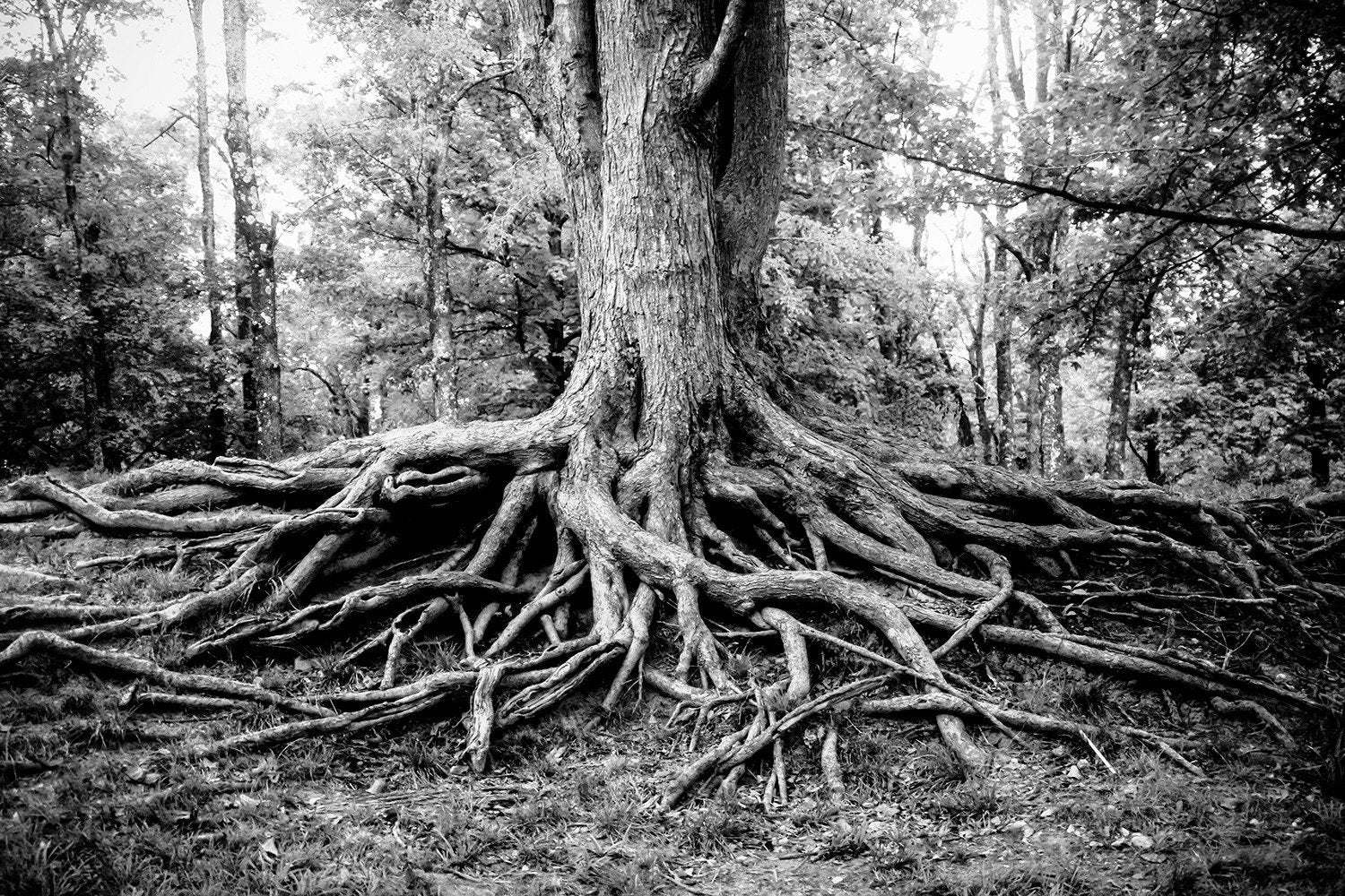 Roots of life black and white fine art print lost kat photography