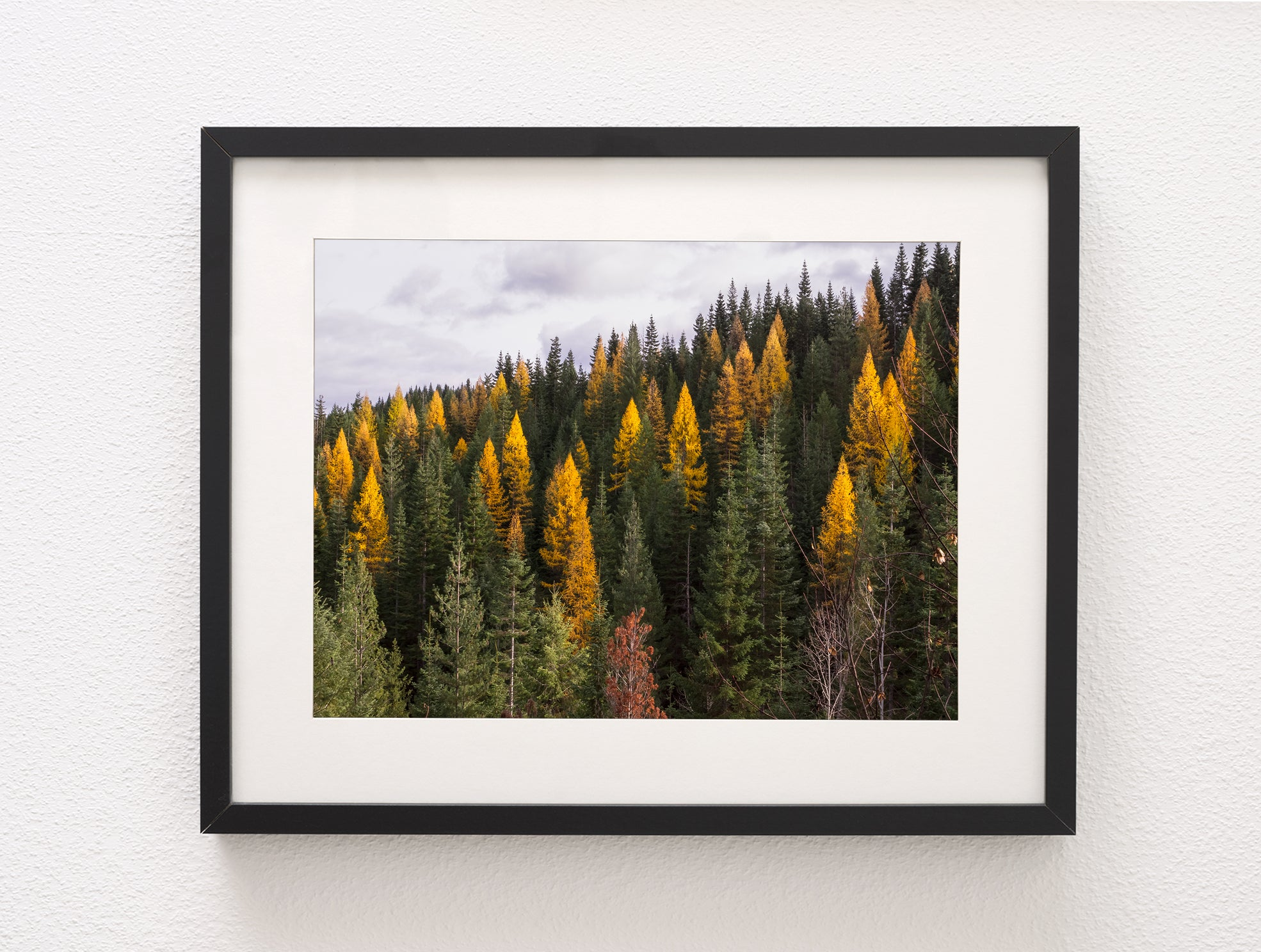 Yellow Larch Forest in Autumn Nature Photography