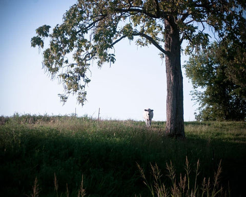 The Watcher, Cow and Tree, Kentucky Lost Kat Photography