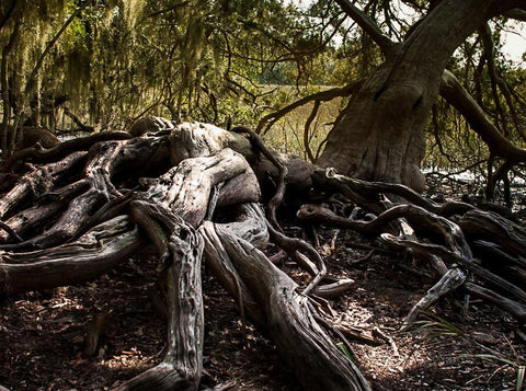 Tree Photography, Roots, Nature Photography, Savannah Georgia Coast, Forest Print, Southern Decor, Coastal Georgia, Chtulhu Tree Lost Kat Photography